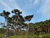 안면도 소나무숲 '국가산림문화자산' 지정